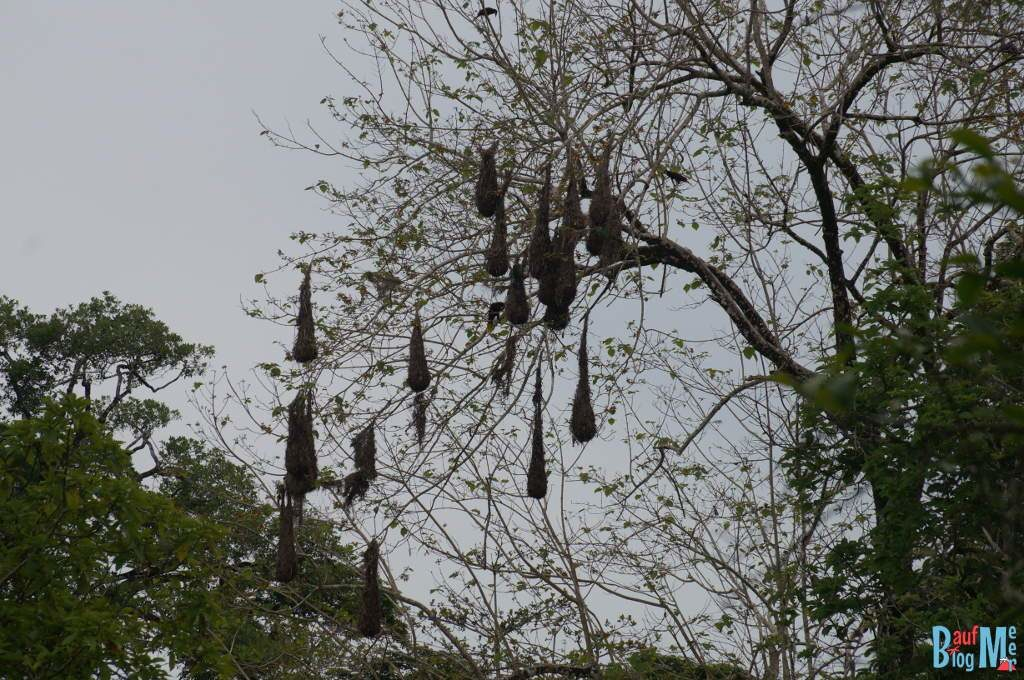 Nester des Montezumastirnvogels