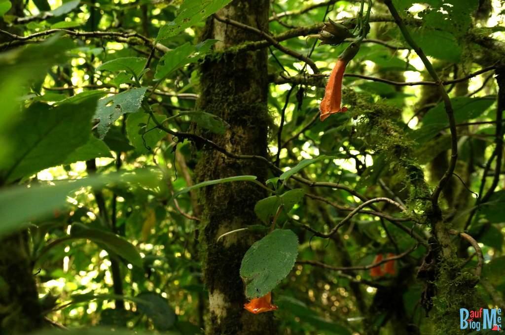 Orangene Blüten auf dem Sendero los Quetzales