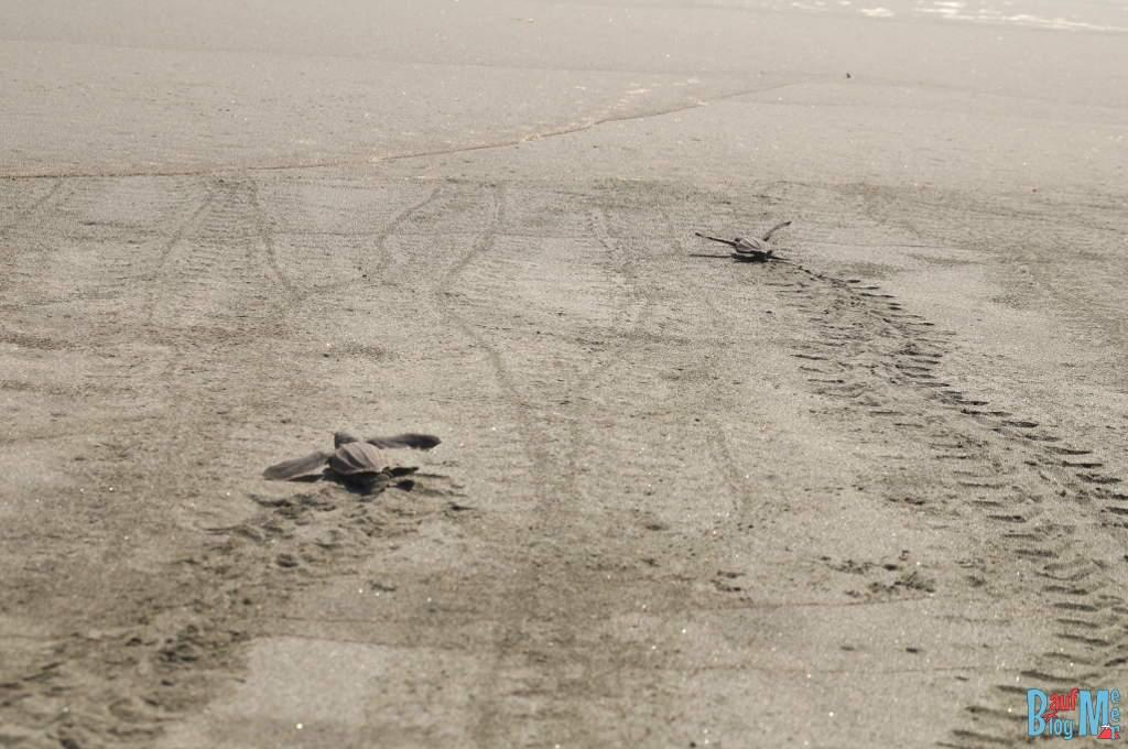 Schildkröten Babies in San San Pond Sak auf dem Weg ins Meer