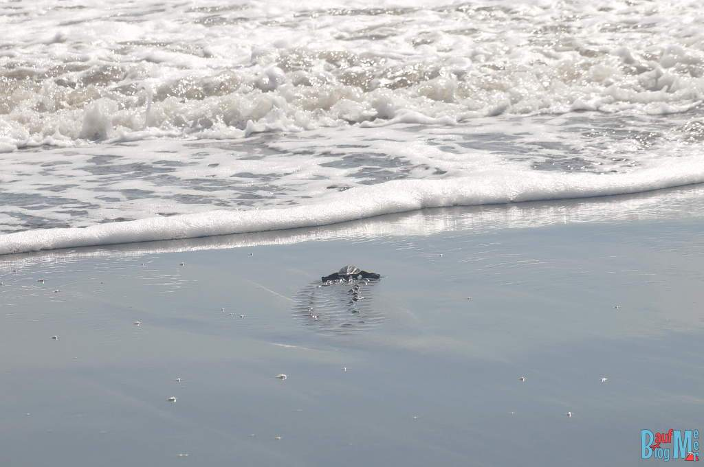 Schildkröten Babies in San San Pond Sak, Bocas del Toro,auf dem Weg ins Meer