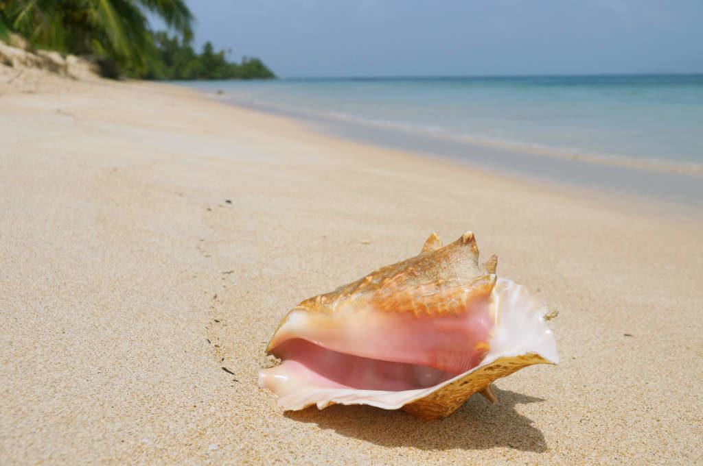 Solche Muscheln findet man häufig auf den San Blas Inseln