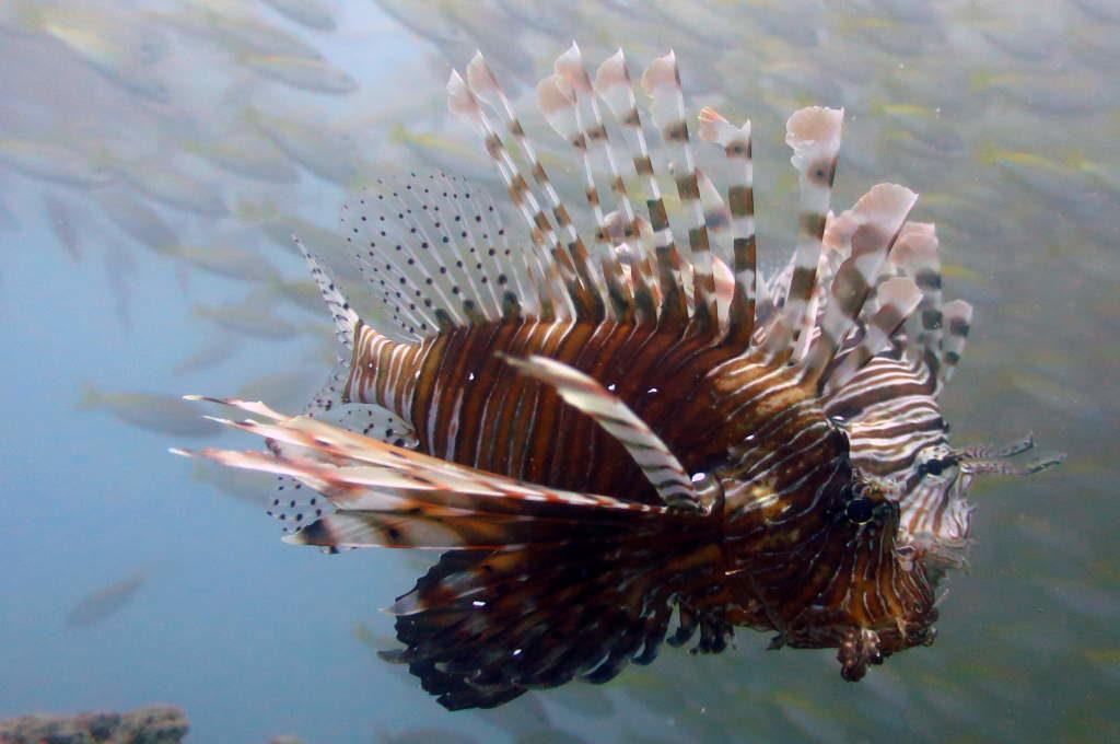 Nachhaltigkeit in Bocas del Toro: Feuerfisch im Atlantik
