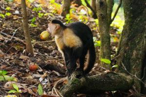 Kapuzineräffchen beim Eco Venao auf unserer Backpacking Route durch Panama