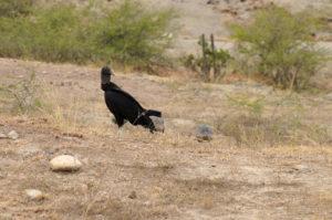 Aasgeier in der Tatacoa Wüste