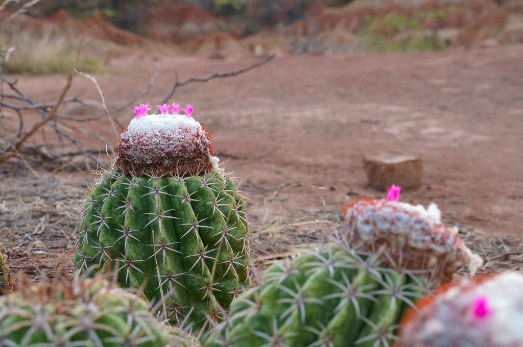 Kaktus mit rosa Blüte