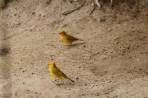 Gelbe Vögel