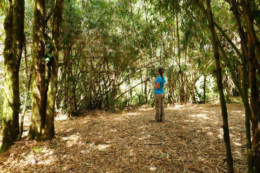 Bambushain im Valle de Cocora