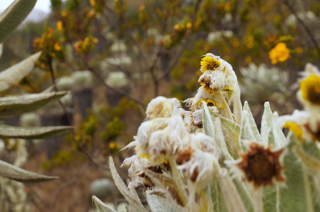 Frailejones mit gelben Korbblüte