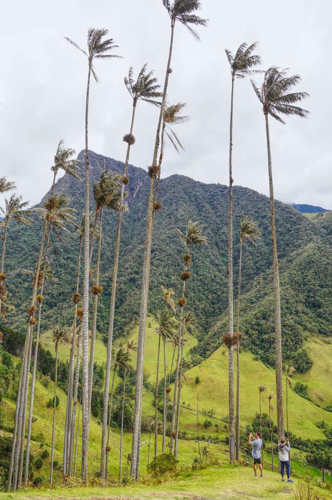 Quindio Palmen (Nationalbaum Kolumbien) des Valle de Cocora