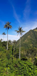 Wachspalme im Valle de Cocora