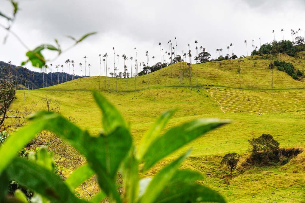 Die Wachspalmen des Valle de Cocora