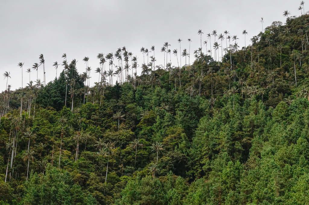 Wachpalmen im Valle de Cocora
