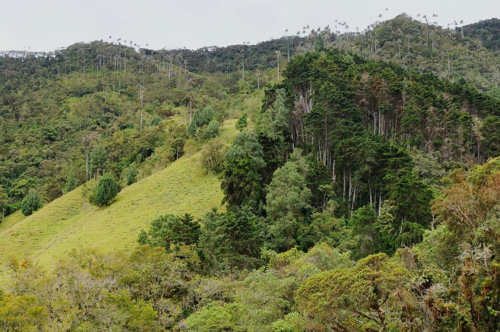 Gerodeter Wald im Valle de Cocora